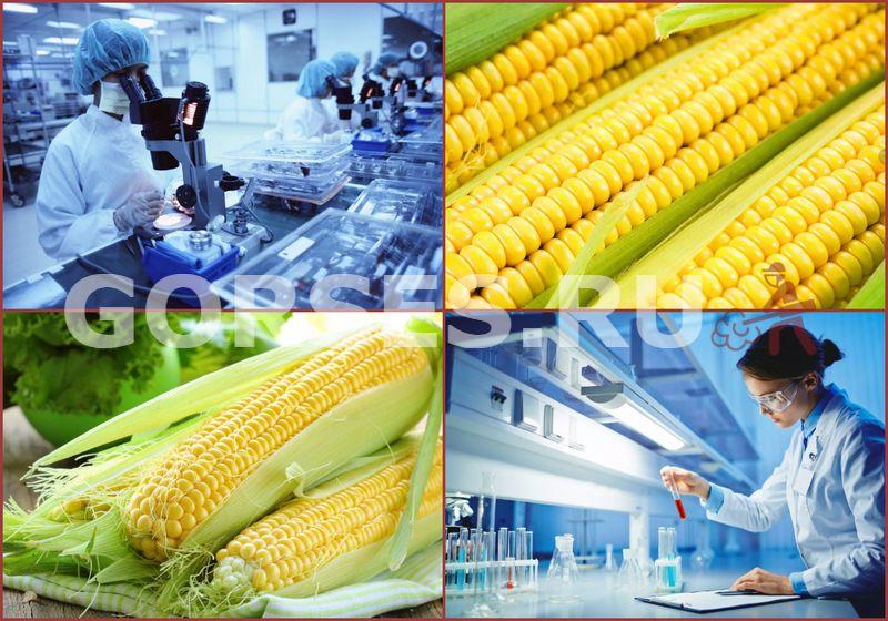 анализ кукурузы