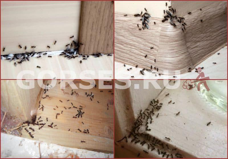 мелкие муравьи в квартире
